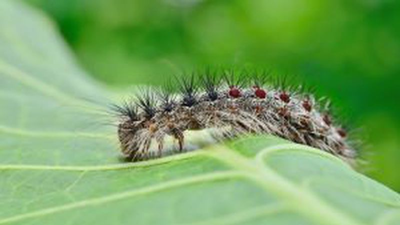 Gypsy moth populations appear to be on the upswing in Lower Michigan. (photo courtesy of...