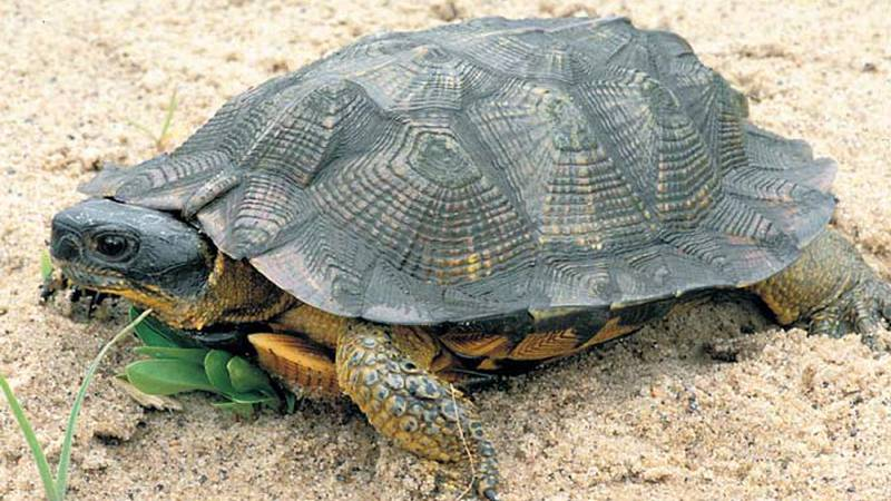 Picture of a Wood Turtle (Glyptemys insculpta), a Threatened Species in Wisconsin. (A.B....