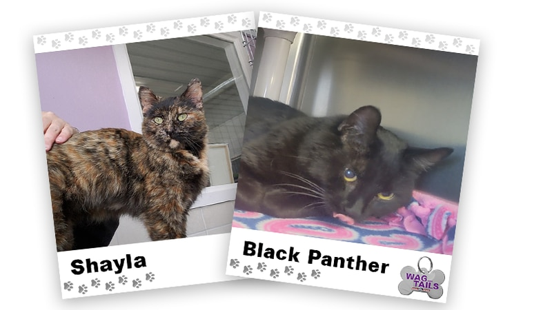 WAGNER TAILS: Shayla and Black Panther