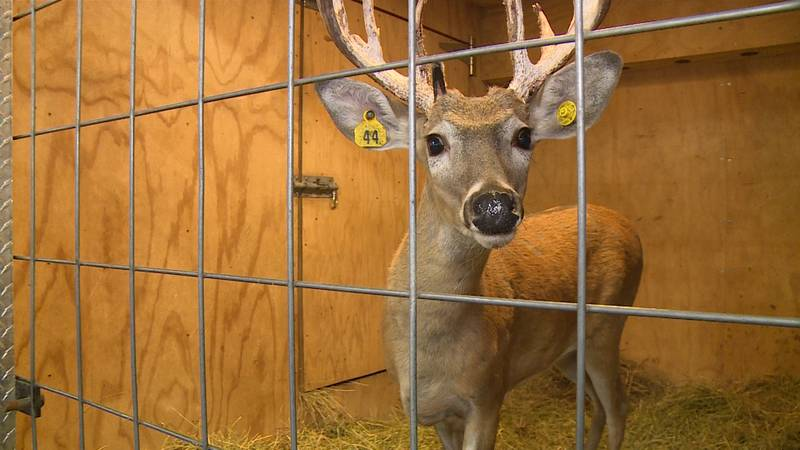 The three day event will feature Steve Porter's live trophy whitetail deer. This here is...