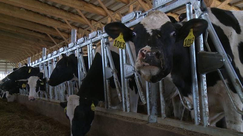 Cattle at Hamburg Hills Farm