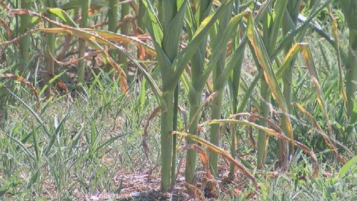 Approximately 55% of the state is experiencing at least moderate drought conditions, including...