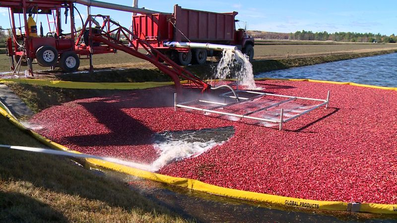 Cranberry harvesting in Black River Falls, WI.