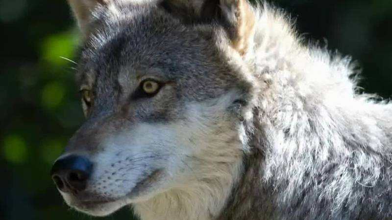 A judge has granted a request from wildlife advocacy groups and blocked Wisconsin's fall wolf...