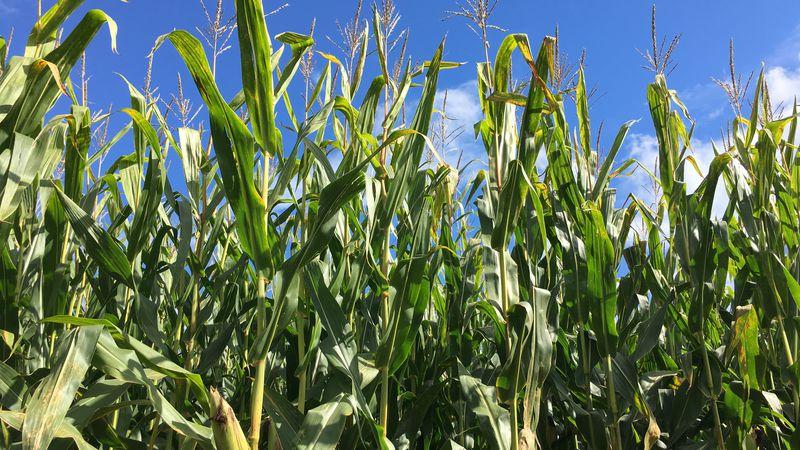 Corn stalks seen in Upper Michigan.