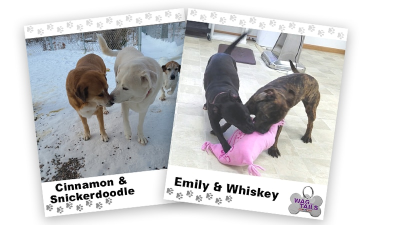 Wagner Tails: Cinnamon & Snickerdoodle and Emily & Whiskey