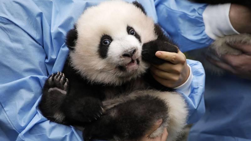 "Giant panda bear cub ""Bao Mei"" is shown along with her brother ""Bao Di"" during their..."