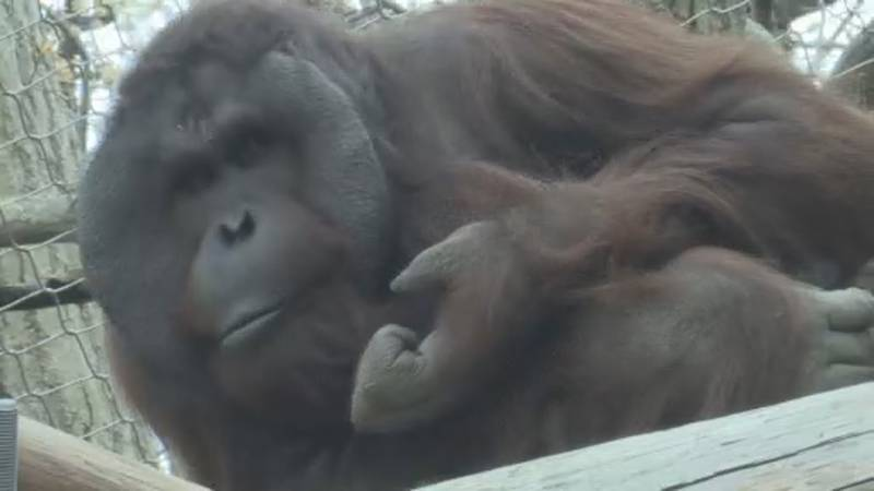Henry Vilas Zoo says primates are among those most vulnerable to COVID-19 and will plan to get...