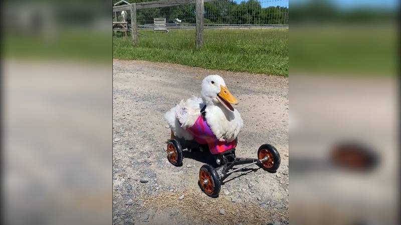 The Woodstock Sanctuary adopted Kiwi, a special needs duck who is unable to walk on her own.