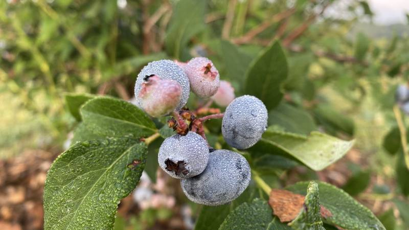 Foster Blueberry Farm in Eau Claire Co. has 3,000 blueberry plants with 4 varieties to offer...