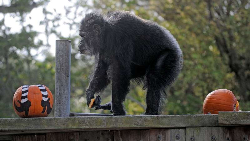 FILE - In this Oct. 21, 2009, file photo, Cobby, a male chimpanzee, plays with pumpkins during...