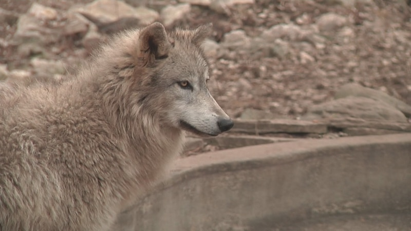 Federal removal of the gray wolf from the endangered species list means Wisconsin wildlife...