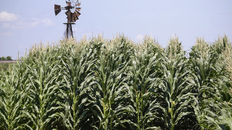 FILE - In this July 11, 2018, file photo, a field of corn grows in front of an old windmill in...
