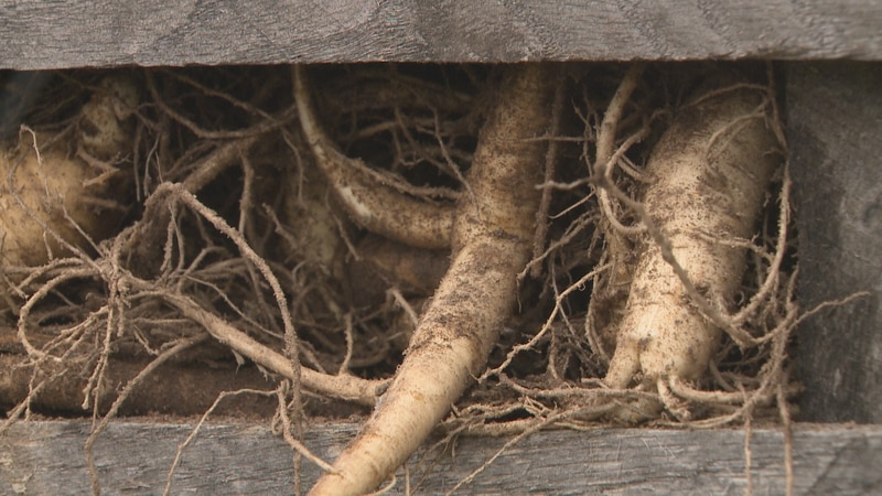 picture of ginseng.