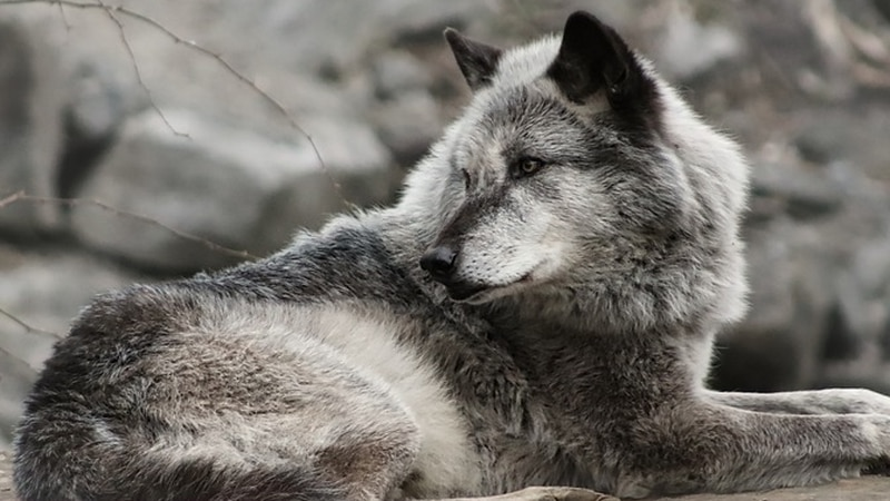 Wildlife conservation experts say state governments have allowed too many wolves to be killed...