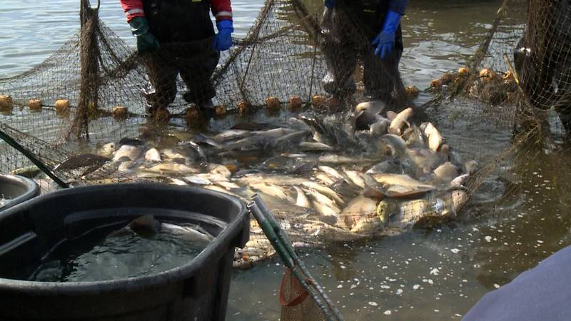Fish in pool 8 of the Mississippi are sifted through to find invasive carp
