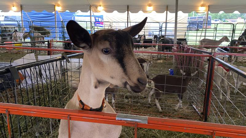 The dairy goat tent on the rural ends of the fairgrounds ahead of Thursday morning's Junior...