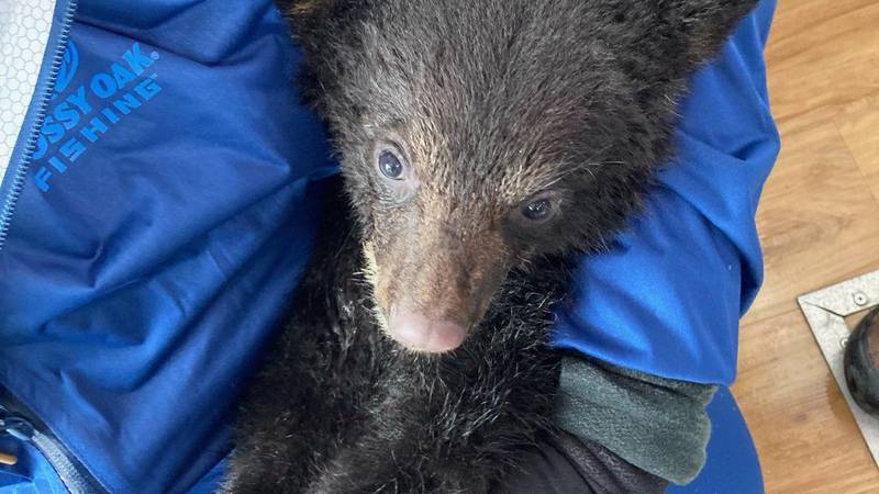 Black bear cub 'Fjord' after being rescued from Alaskan waters in Prince William Sound.