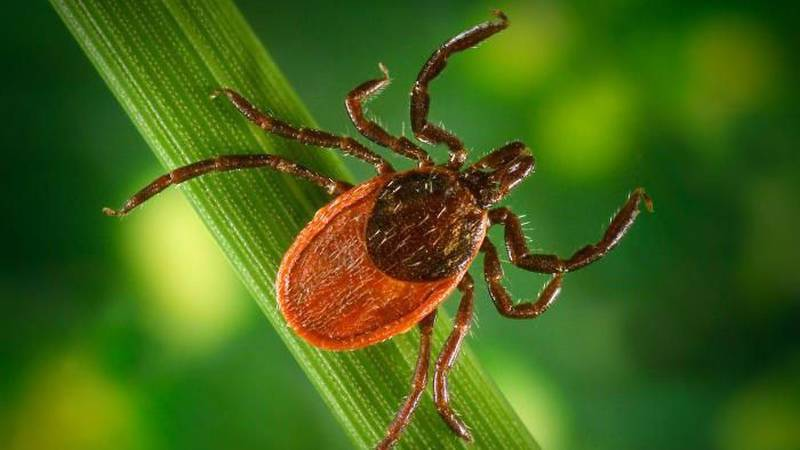 The deer tick, also known as the black-legged tick. (Source: CDC)