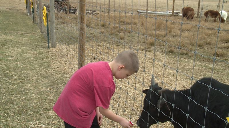 A boy feeding a cow at Outlaw Farms' 'Easter Babies' event in Eau Claire County, Wis.